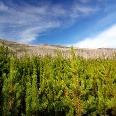 forest fire: Pinos peque�os surgir a ra�z de un incendio forestal en el Bosque Nacional de Flathead Montana