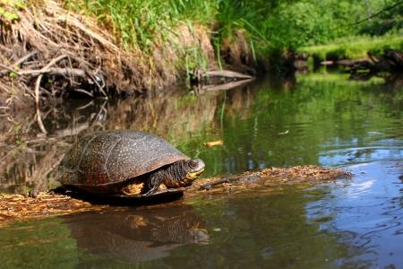 Blandings Turtle basking on a log in a pristine stream of northern Illinois Reklamní fotografie