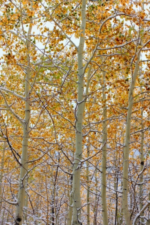 bridger: Bright yellow leaves covered with snowfall in the Bridger Teton National Forest of Wyoming