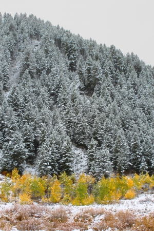 Yellows autumn colors below a snow covered pine forest in Wyoming photo
