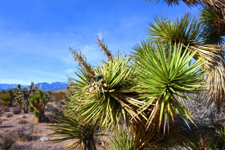 desert ecosystem: Joshua Tree (Yucca brevifolia) in the desert ecosystem northwest of Las Vegas Stock Photo