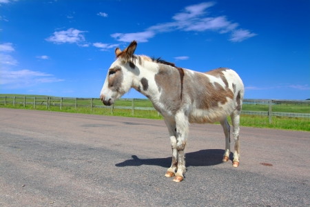 fenceline: One of the famous begging burros of Custer State Park in South Dakota