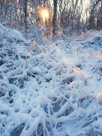 Snow covered forest scenery of Allerton Park in central Illinois photo