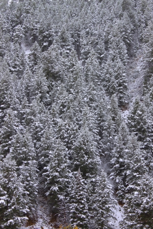 bridger: Background of snow covered pine trees in the Bridger Teton National Forest of Wyoming