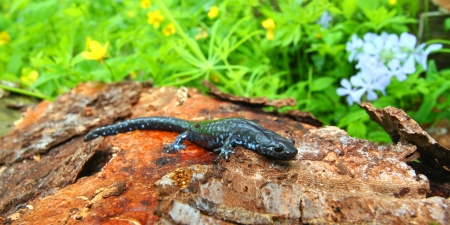 bluespotted: Blue-spotted Salamander  Ambystoma laterale