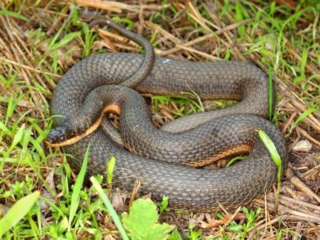 regina: Queen Snake (Regina septemvittata) in the Des Plaines River valley of northeastern Illinois