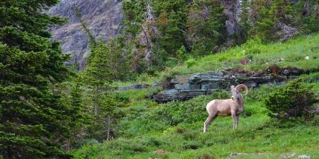 Bighorn sheep  Ovis canadensis  at Logan Pass of Glacier National Park photo