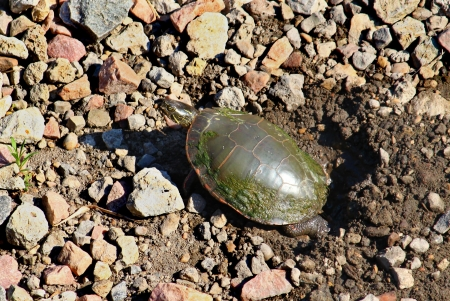 Painted Turtle (Chrysemys picta) digging a nest in northern Illinois