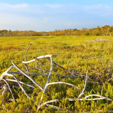 Coastal prairie of Everglades National Park dominated by saltwort (Batis Maritima) photo