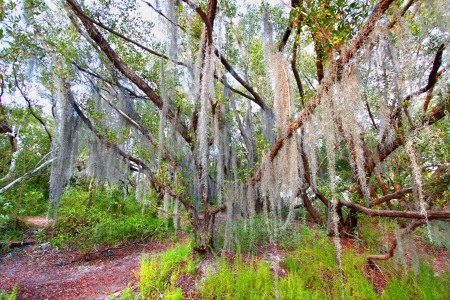 Spanish moss sways in the breeze   photo