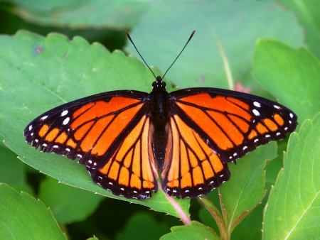viceroy: Viceroy Butterfly (Limenitis archippus) on vegetation in northern Illinois