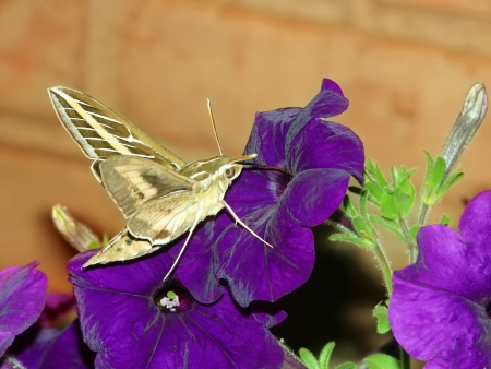 hyles: White-lined Sphinx (Hyles lineata) feeds on nectar of a garden flower in Illinois