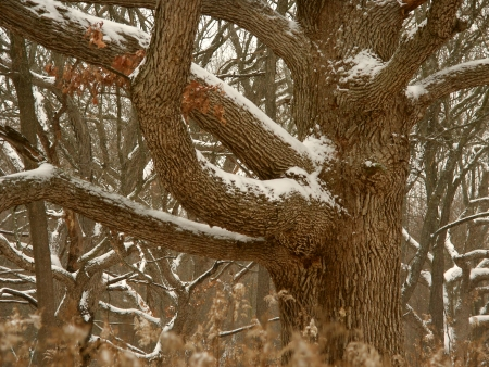 Oak tree dusted with winter snow in the Midwest United States photo