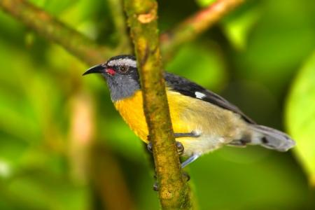 Bananaquit (Coereba flaveola) bird in El Yunque National Forest of Puerto Rico photo