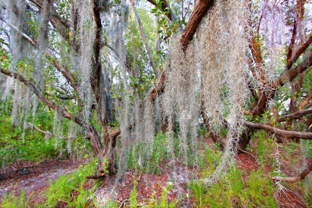 sways: Spanish moss sways in the breeze along the Coastal Prairie Trail of Everglades National Park