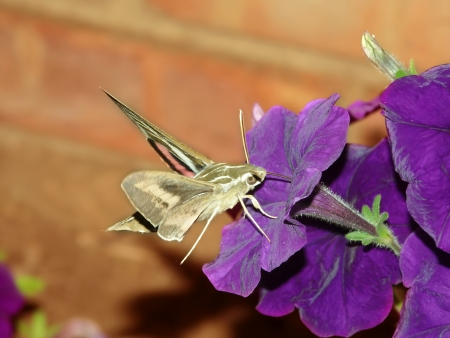 hyles: White-lined Sphinx  Hyles lineata  feeds on nectar of a garden flower in Illinois Stock Photo
