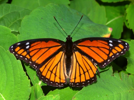 viceroy: Viceroy Butterfly  Limenitis archippus  on vegetation in northern Illinois Stock Photo