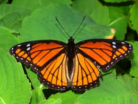 Viceroy Butterfly  Limenitis archippus  on vegetation in northern Illinois Stock Photo