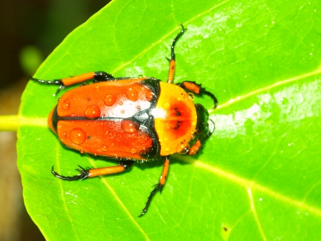nautral: Flower Beetle on Green Island National Park of Queensland Australia