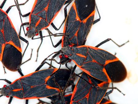 Boxelder Bugs  Boisea trivittata  in Illinois