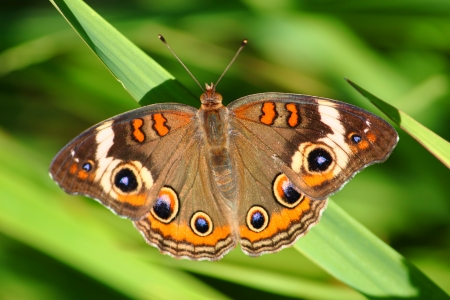 Buckeye Butterfly  Junonia coenia  at Sugar River Alder Forest Preserve in northern Illinois