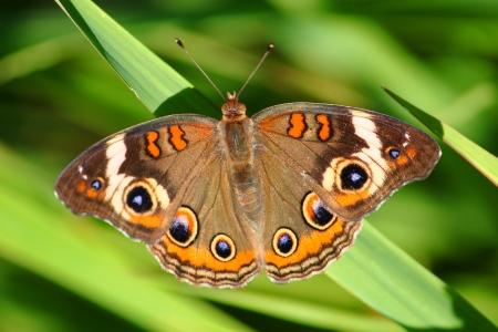 Buckeye Schmetterling Iunonia coenia im Sugar Fluss Alder Forest Preserve in northern Illinois Standard-Bild - 24206472