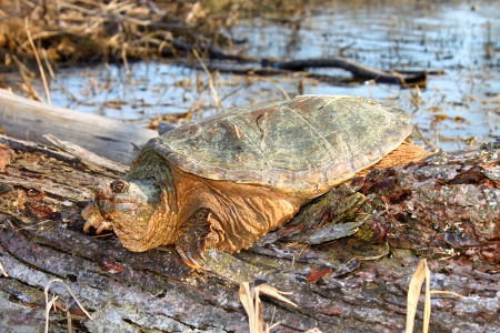 snapping turtle: Basking Snapping Turtle  Chelydra serpentina  on a warm spring day near Rockford, Illinois
