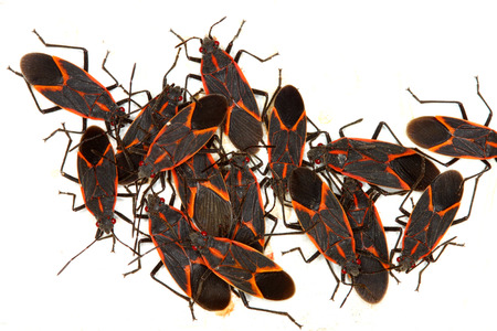 Boxelder Bugs  Boisea trivittata  on a spring day in Illinois Stock Photo