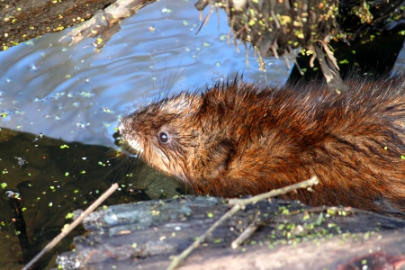 muskrat: Muskrat  Ondatra zibethicus  sitting in the water on a warm spring day in Illinois Stock Photo