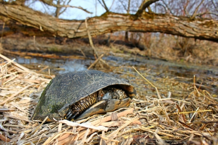 wetland conservation: The Blandings Turtle Stock Photo