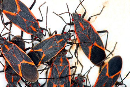 Gathering of Boxelder Bugs  Boisea trivittata