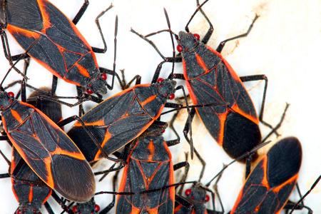 insecta: Gathering of Boxelder Bugs  Boisea trivittata