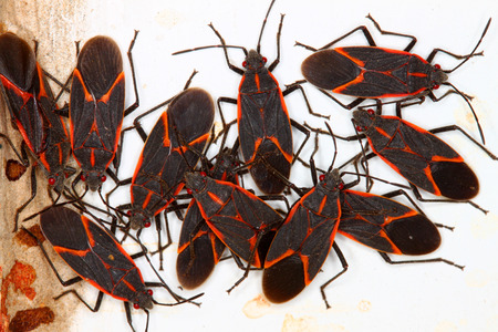 Boxelder Bugs (Boisea trivittata) gather in large numbers