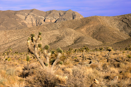 desert ecosystem: Joshua Trees (Yucca brevifolia) in the desert ecosystem northwest of Las Vegas Stock Photo
