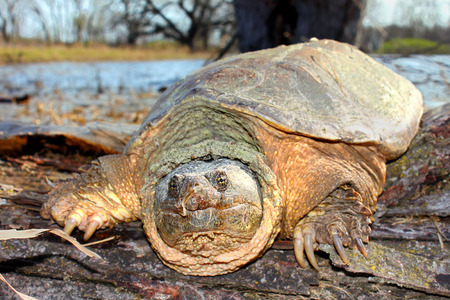 snapping turtle: Snapping Turtle (Chelydra serpentina) on a warm spring day Stock Photo