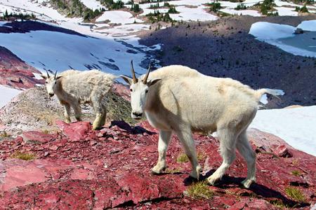 cabra montes: Cabra de monta�a de la madre y del beb� Foto de archivo