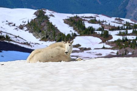 berggeit: Berggeit Glacier National Park Stockfoto