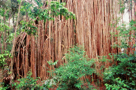 strangler: Curtain Fig Tree in the Atherton Tablelands of Queensland Australia