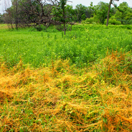 dense mats: Illinois prairie scene with dense growth of Dodder (Genus Cuscuta)