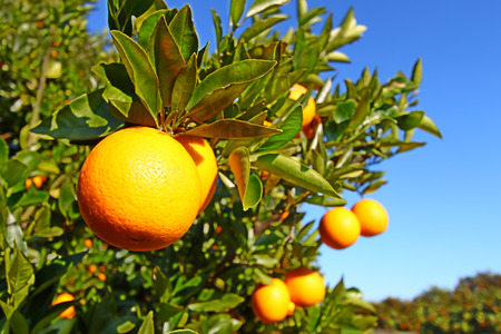 The beautiful orange groves of Florida on a sunny day. Stock Photo