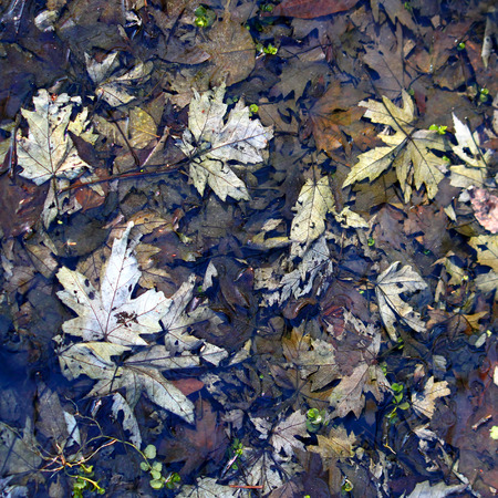 Fallen leaves covered in spring rainfall in an Illinois forest photo