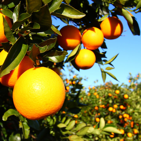 Florida Orange Groves Landscape Archivio Fotografico