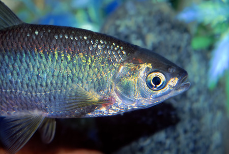 Or Shiner (Notemigonus crysoleucas) poissons trouvés dans le nord de l'Illinois