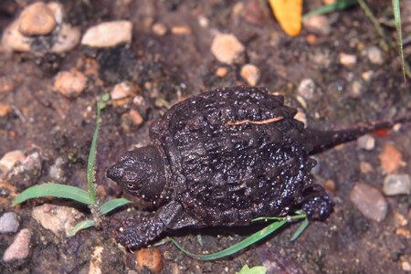 hatchling: Snapping Turtle (Chelydra serpentina) hatchling searching for water in Illinois