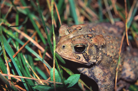 american midwest: American Toad (Bufo americanus) closeup in the Midwest United States