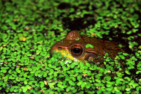 grenouille verte: Grenouille verte (Rana clamitans) se cachant dans la lentille d'eau au Lib zone de conservation dans l'Illinois