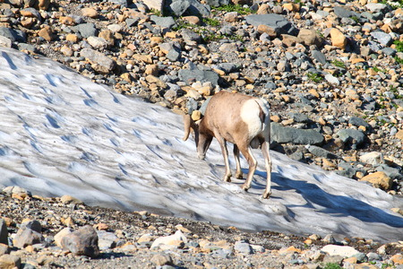 ovis: Bighorn sheep (Ovis canadensis) at the Grinnell Glacier of Glacier National Park. Stock Photo