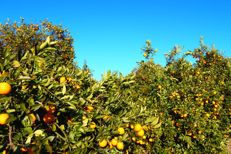 orange grove: Orange tree landscape in central Florida of the southern United States Stock Photo