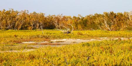 Everglades national park: Coastal prairie of Everglades National Park dominated by saltwort Batis maritima Stock Photo