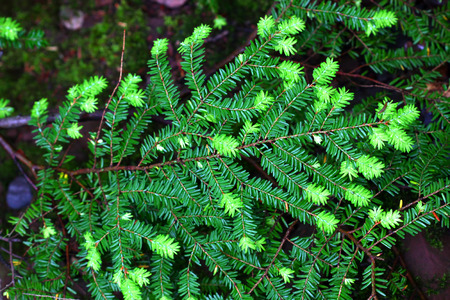 state park: Eastern Hemlock Tsuga canadensis needles at Porcupine Mountains Wilderness State Park in Michigan
